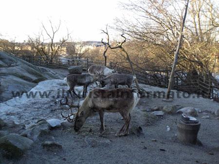Stoccolma Skansen zoo renne