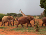 Elefanti e giraffa nel safari